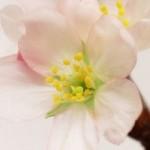 「梅・桃・桜」の見分け方